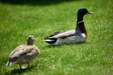 Wild Ducks Couple On Green Grass
