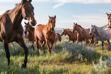 Colorful Herd Of American Ranch Horses. Buckskin ,sorrel, Chestnut, Paint, Gray, Bay, Galloping On The Range In Montana Pryor Mountain Area.
