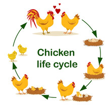 Educational Vector Illustration On The Topic Of Chicken Life Cycle. From Egg To Adult Chicken.Isolated On A White Background