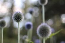 Echinops (Globe Thistle) Flower - Azurite (Oursin Bleu) Fleur