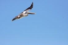 Pelican On The Hunt
