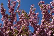 Pink Sakura Flowers On Trees On Blue Sky Background