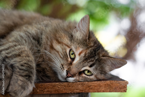 Fototapeta A homeless gray cat with green expressive eyes lies and naps on the street in the summer on a wooden surface against the background of green blurred trees