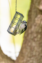 Black And White Downy Woodpecker Pecking At Suet In Bird Feeder