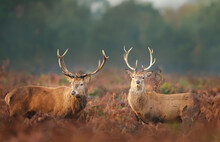 Close-up Of Two Red Deer Stags In Autumn
