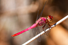 Red Dragonfly In The Stick