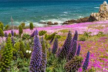 View Of The Pacific Ocean And The Blooming Shore, Lovers Point Park, Monterey