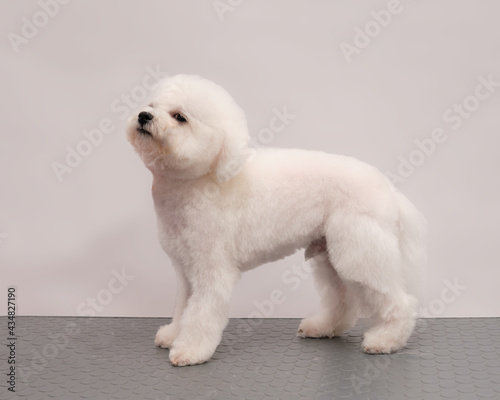 Valokuva bichon frise on a light background after a haircut in a beauty salon