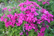 Saponaria (Soapwort) - A Large Genus Of Wildflowers Native To The Old World (Europe) And Asia With Flowers In Shades Of Pink And White.