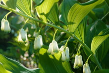Smooth Solomon's Seal. Bell-shaped Greenish White Flowers (often In 2s) Dangle From Knee-high Arching Stems.