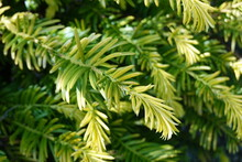 Japanese Yews Are A Popular And Versatile Evergreen Shrub.