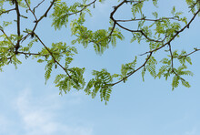 Honey Locust Leaves (branches) And Catkins Against Blue Sky - With Space For Text Lower Half