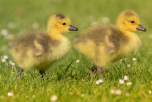 Twin Ducklings In The Grass