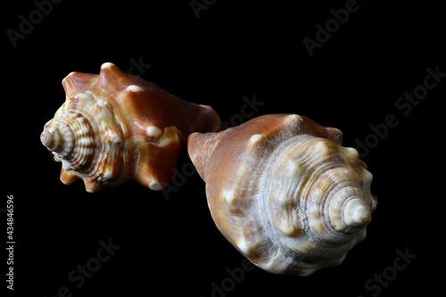 Fighting Conch Shells Fototapeta
