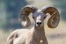 Bighorn Sheep Ram Looking