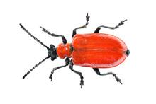Red Scarlet Lily Beetle Bug Lilioceris Lilii Leaf Beetle