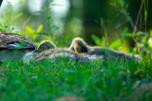 Juvenile Canadian Geese Resting Near Their Mother