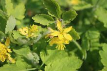 Yellow Chelidonium Flowers, Commonly Known As Greater Celandine Or Tetterwort. Chelidonium Majus In Bloom