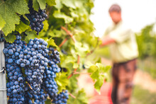 Grapes Harvest In Vineyard In The Box. Farmers Harvesting Grape. Wine Making Concept.