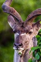 The Closeup Of The Male Greater Kudu In Kruger Park In South Africa.