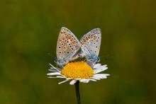 Polyommatus Icarus, Tiny Double Butterfly On Daisy
