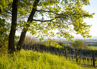 Fresh green tree at the edge of a vineyard in Burgenland