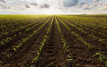 Open Corn Field At Sunset.