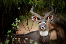 Portrait Of Endangered Animal. A Big Spiral Horns Antelope, Mountain Nyala, Tragelaphus Buxtoni In Forest Natural Environment, Looking At Camera. Harenna Forest, Bale Mountains,  Travelling Ethiopia.