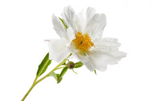 Elegant Peony Flower With White Petals And Yellow Stamens Isolated On White Background.