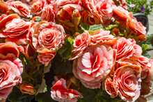 Begonia Elatior Borias Is A Delightful Houseplant. This Begonia Has A Soft Pink-white Flower With A Red Centre.