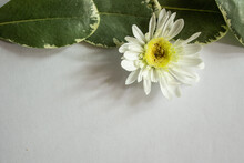 White Flower With Large Green Leaves On A White Background