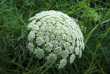 Wild Carrot (Daucus Carota). Called Bird's Nest, Bishop's Lace And Queen Anne's Lace Also