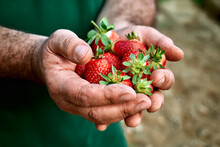 Fresh Red Ripe Bio Organic Strawberry In Hands Of Gardener. The Man Holds Freshly Picked Strawberries In His Palms. Gardening And Harvesting Concept.