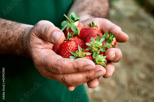 Fotografie, Obraz Fresh red ripe bio organic strawberry in hands of gardener