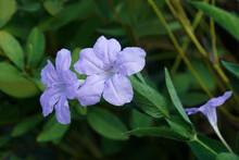 Britton's Wild Petunia (Ruellia Simplex). Called Mexican Petunia And Mexican Bluebell Also. Another Scientific Name Is Ruellia Brittoniana