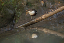 Dipper Perched On A Branch Over A Stream In Scotland
