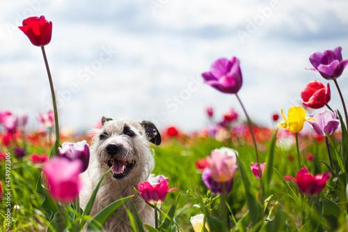 Fotografie, Obraz Dog mongrel sitting in tulip flowers. Spring