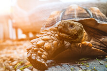 Close Up Of African Spurred Tortoise Or Geochelone Sulcata In The Garden. Sulcata Tortoise Is Looking At Camera. Slow Life.