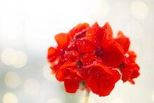Flower  Red Geranium  With Drops  Water  Dew Bloom On Blurred Light  Background  With Bokeh  And Copy Space  For Text . Greeting  Card  Concept .