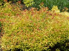 Spiraea X Bumalda 'Gold Flame' Ou Spirée Hybride, Petit Arbuste De Forme Arrondie Au Feuillage Décoratif Orange Brique Et Feu Formant Une Haie Décorative