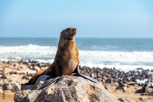 Canvas Print Fur seal enjoy the heat of the sun
