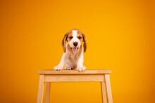 Beagle Puppies Studio Photography