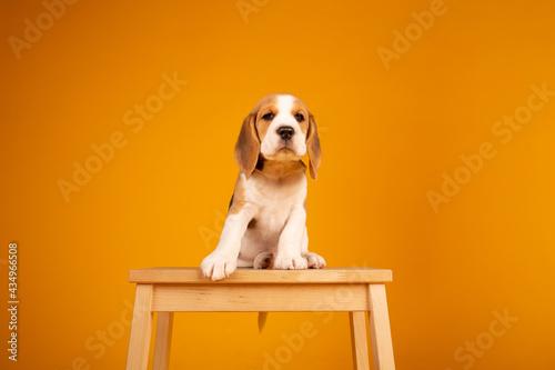 Canvas Print Beagle puppies studio photography