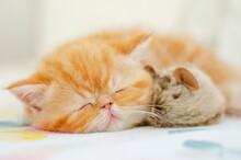 Sleeping Little Persian Kitten And Mouse