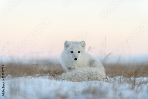 Foto Wild arctic fox in tundra. Arctic fox lying. Sleeping in tundra.