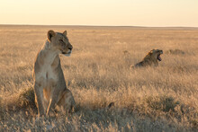 Lioness In Foreground Sitting With Young Male Lion In Background Laying In Sunset Light In Etosha National Parc