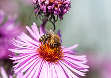 Fluffy Worker Bee On A Pink Flower Collects Pollen.