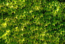 A Close-up On A Wall Of Virginia Creeper. Le Pouliguen, West Of France, The 10th May 2021.