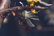 Pyrrhocoris - The Most Common Red Bug