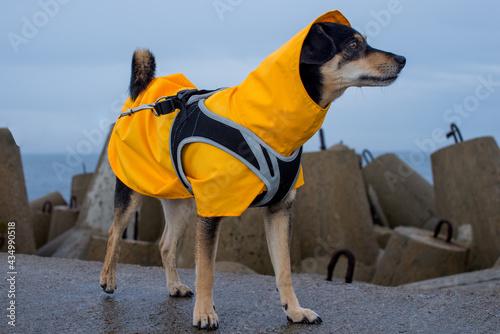 Fototapeta Dog in a yellow rain coat at the sea